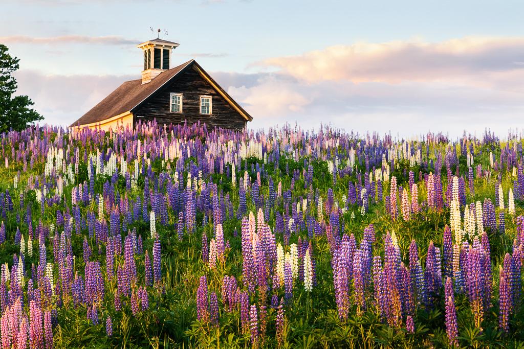 Lupine-summer---Maine.jpg