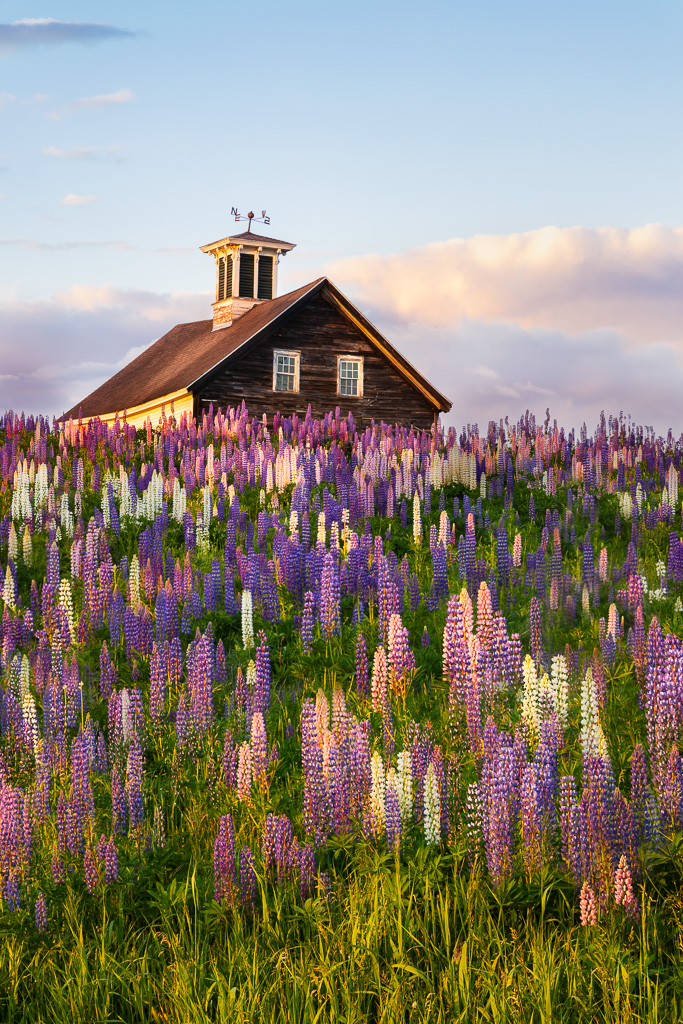 Lupine-sunset-in-Maine.jpg