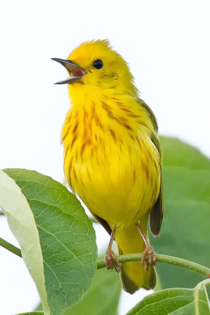 20210206-yellow-warbler.jpg
