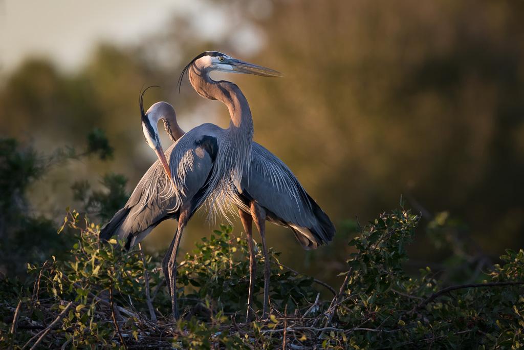 Great-blue-herons-grooming.jpg