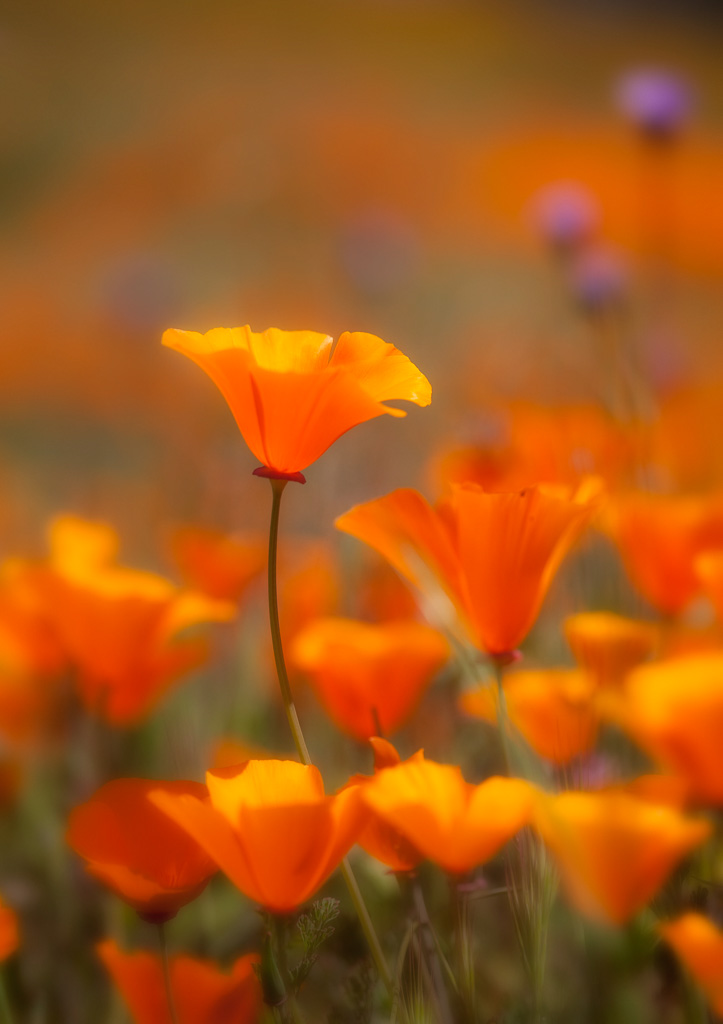 california-poppies-2.jpg