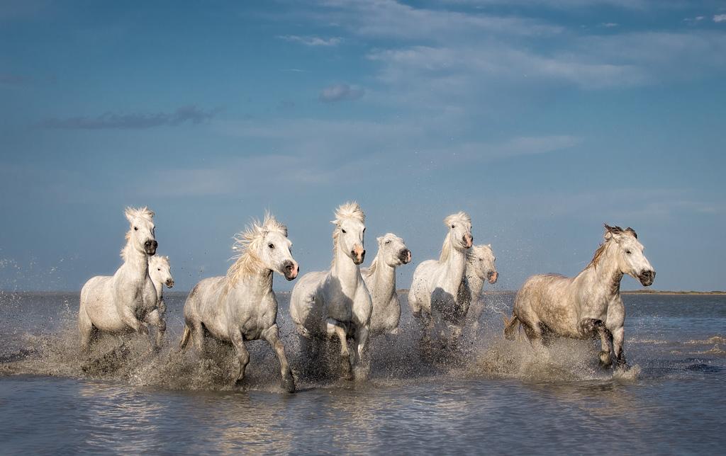 White-Horses-of-the-Camargue-II.jpg