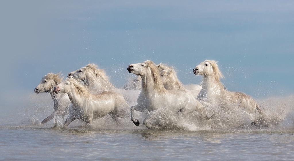 White-Horses-of-the-Camargue.jpg